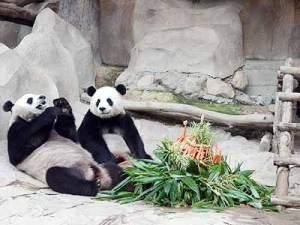 Pandas del Zoo de Chiang Mai